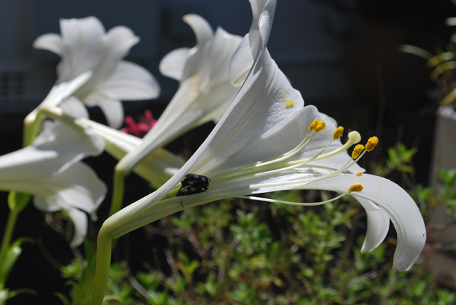 Two white spotted chafer beetle's having sex inside a white St Joseph's Lily flower head.