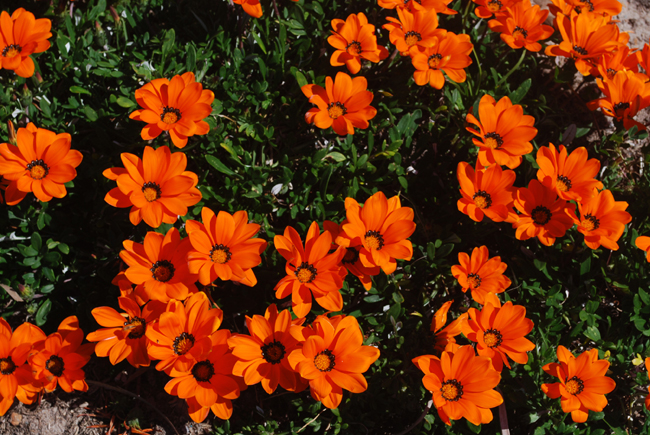 A clump of bright orange flowers growing out of dark green foliage.