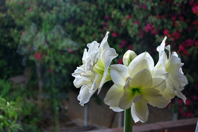 Three large white flowering heads on a tall thick green stem partly reflectd in glass window showing a garden outside.