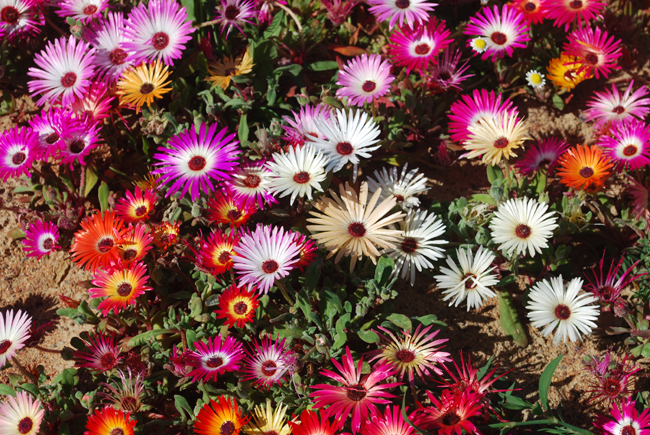 A clump of multi pastel coloured  daisy like flowers growing out of dark green foliage abd sandy ground.
