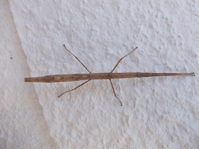 Close up photo of Caausius moros, a pale brown stick insect