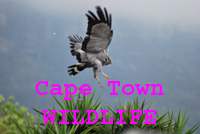 Click link icon butto n to go to Cape Town Wildlife page