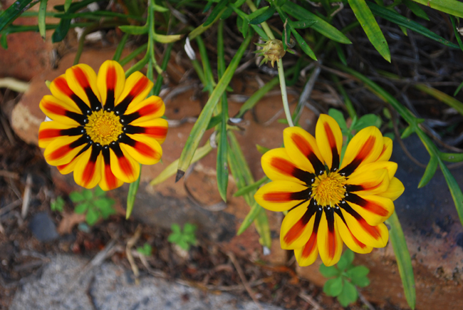Two brightly coloured yellow orange and black petals and yellow centre circle flowers.