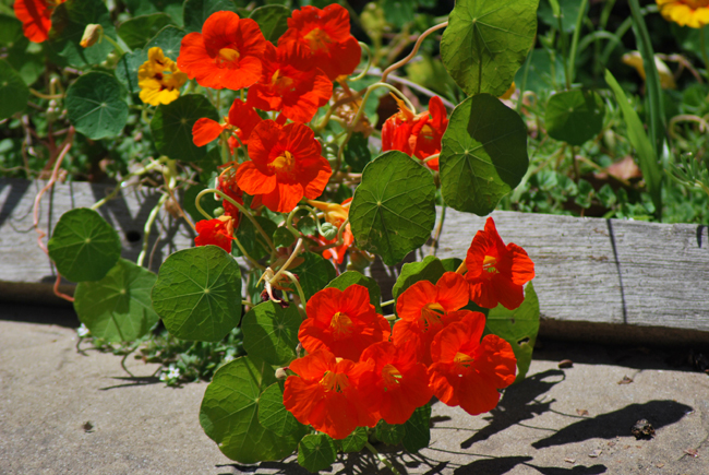 A clump of bright warm orange flowers growing out of pale green foliage that is trailing over a path.